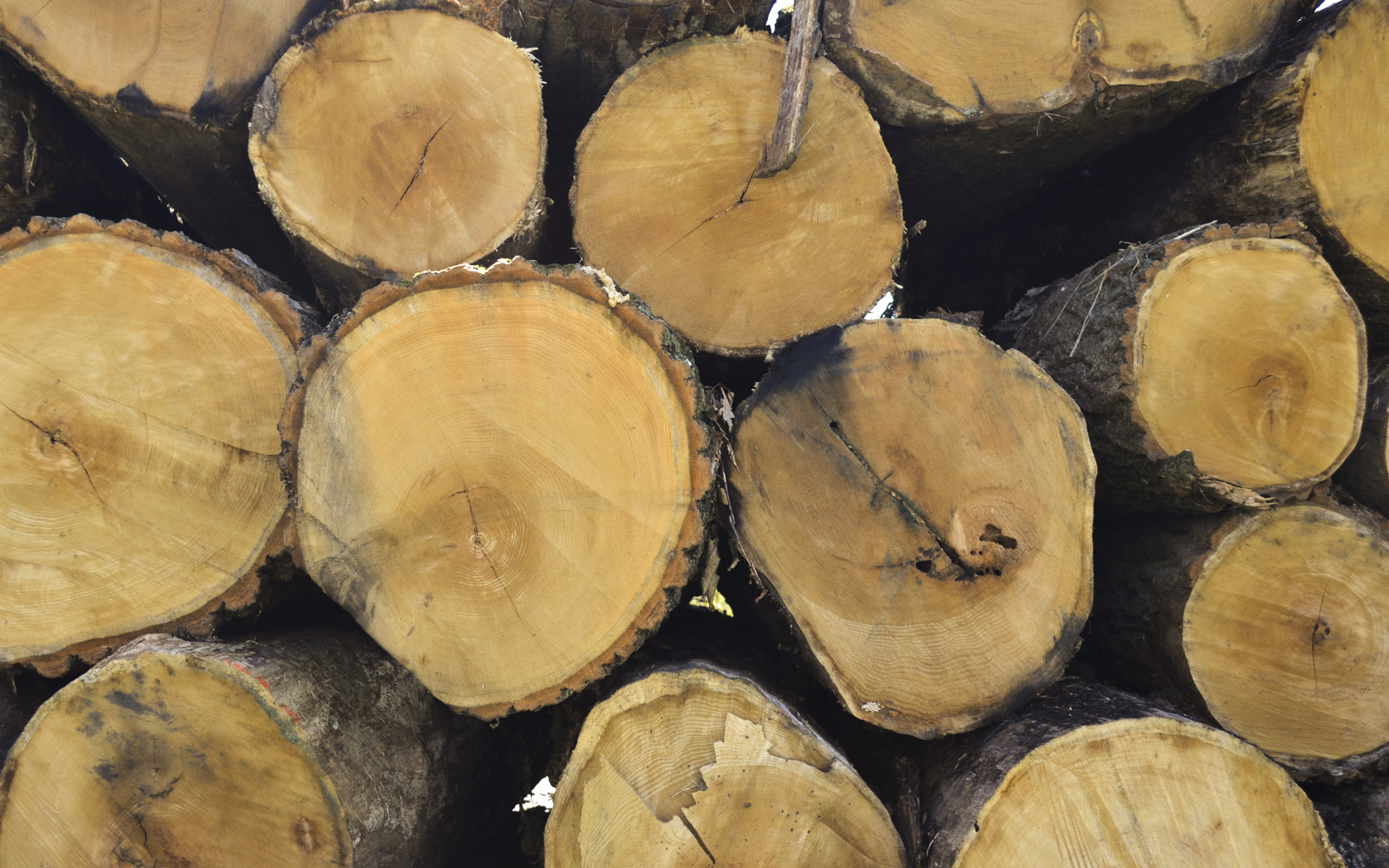Cross-sectional cut end of logs that were harvested for lumber